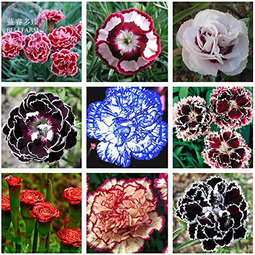 2018 Hot Sale!! BELLFRAM Mixed 9 Types of Dianthus Seeds, 200 Seeds, Professional Pack, Sweet William Flower E-Z Grow high Germination E4153 (Sweet Grow William)
