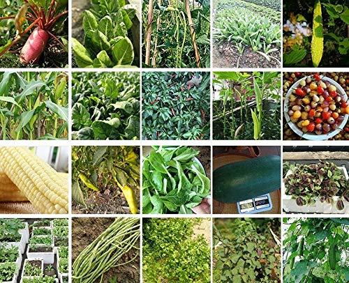 (Mini Poivron Rouge 25 Semences potagères Charges de Fruits bio! Overstock Pr)