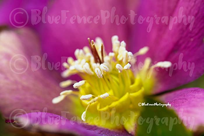 Amazon.com: Buttercup Closeup, Flower Photography, Photograph ...