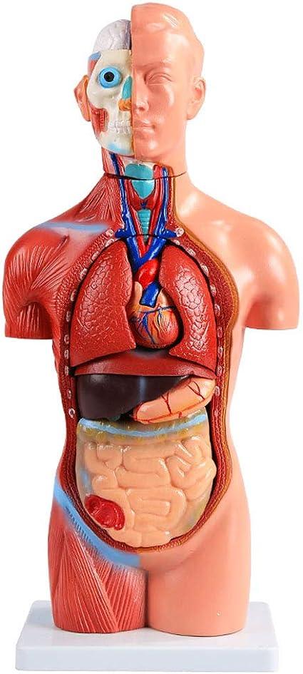 Image result for human organs