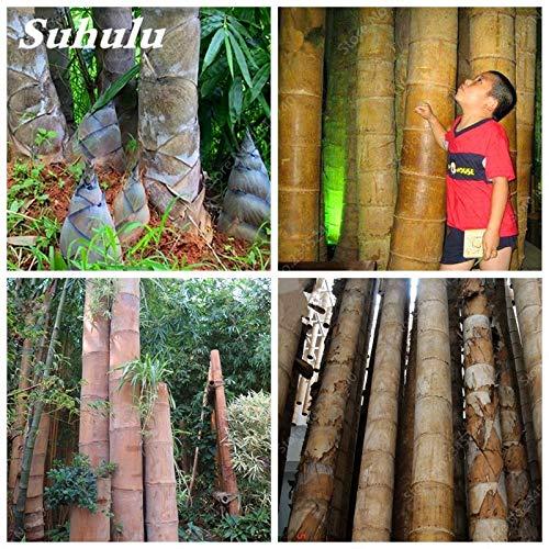 ELENA 20 pcs/Bag Huge Dragon Bamboo Giant Bambu Tree Outdoor Bonsai Potted Novel Bambusa Lako Plant for Home Garden Planting (Bambu Tree)