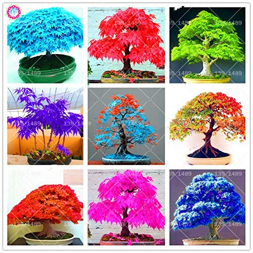 40pcs Mini Mixed Colors Japanese Blue Maple Tree Flores DIY Seeds Plant for Office, Balcony, Home Garden Potted Plants: - Blue Bonsai