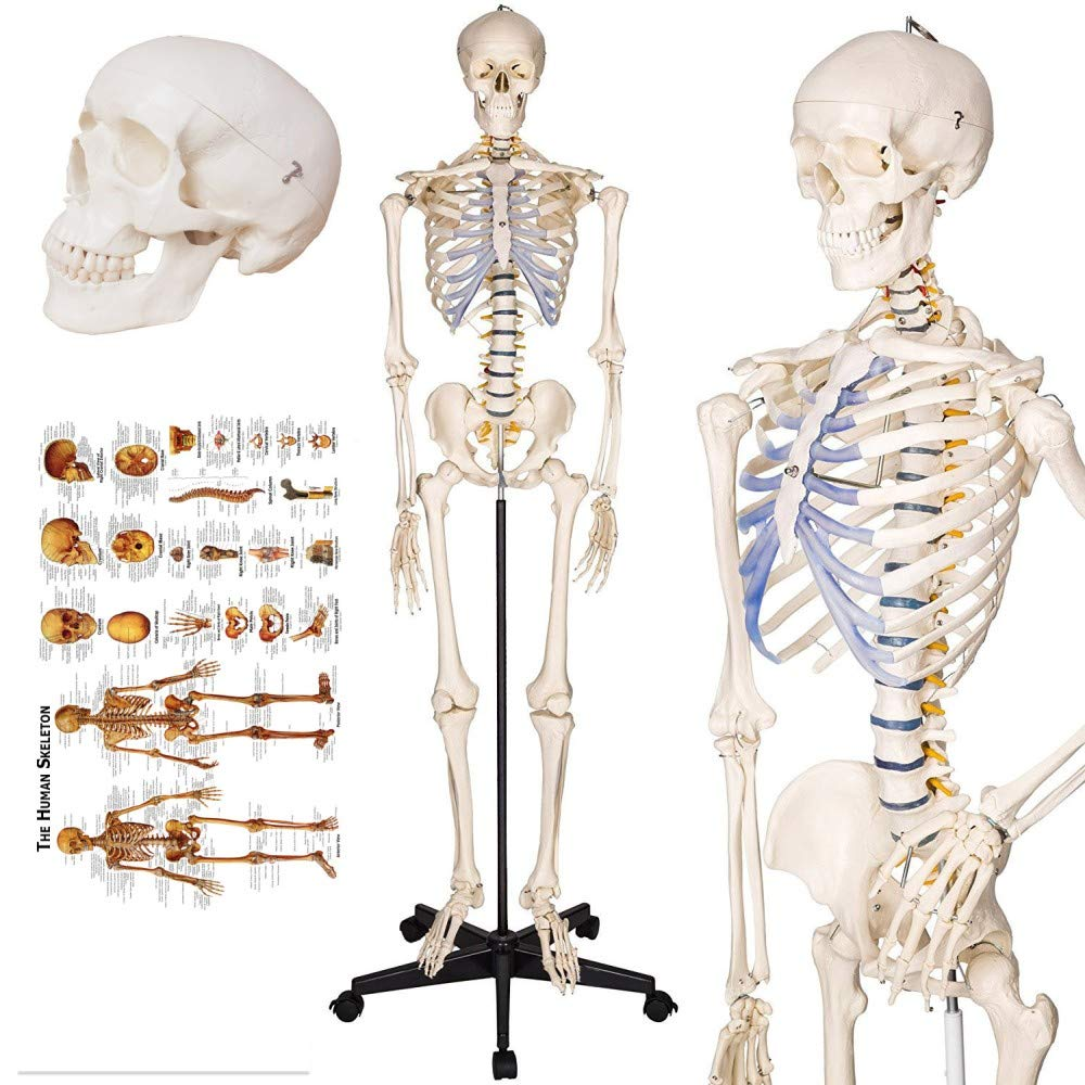 Amazon Coupon Code for Life-Size Human Skeleton Model