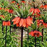 Mggsndi 100Pcs Fritillaria Imperialis Seeds Bonsai Plant Flower Garden Balcony Decor - Heirloom Non GMO - Seeds for Planting an Indoor and Outdoor Garden Red 100 Seeds