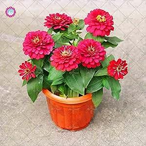 50PCS Garden Bonsai Zinnia Seeds Multicolor Chrysanthemum SeedsTrue Beautiful Fireball Flower Seeds Potted Ornamental Plants 13