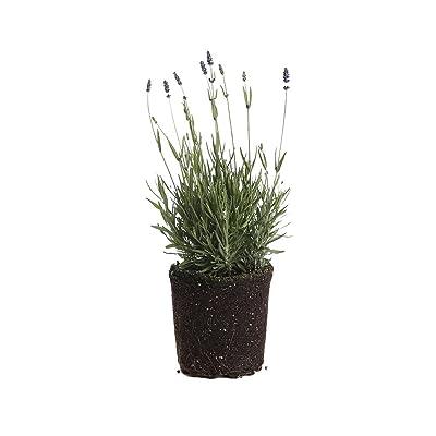 Plants by Post 1-Gallon 1 Gallon English Lavender Hidcote Live Plant, Purple : Garden & Outdoor
