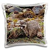 Danita Delimont - Animals - Foraging Raccoon at Low Tide, Crescent Beach, Washington