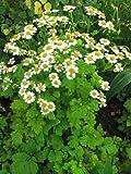 "-Herb- FEVERFEW ""Tanacetum Parthenium"" 100+Perennial Seeds"