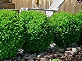 Baby Gem Dwarf Boxwood ( Buxus ) - Live Plant - Trade Gallon Pot