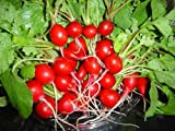 buy 2000 CHERRY BELLE RADISH Raphanus Sativus Vegetable Seeds now, new 2018-2017 bestseller, review and Photo, best price $2.00