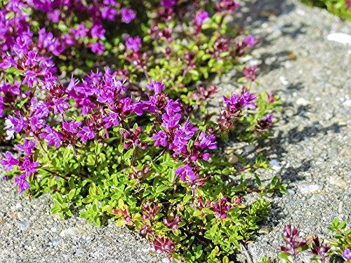 1,6 Million Seeds or 1/2 LB - Creeping Thyme, Rock Cress Flower Herb Garden