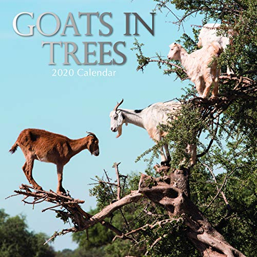 Goats in Trees: 2020 Square Wall Calendar
