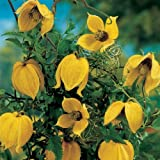 Radar Love- Seeds - Fresh - GOLDEN CLEMATIS TANGUTICA (2000)