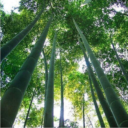 Un paquete de 60 unidades crecen fácil semillas frescas gigante Moso bambú por un jardín de DIY Planta * bonsai Orgánica: Amazon.es: Jardín