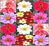 80 x Dahlia Dwarf Mix Seed - Dahlia variabilis - FLOWER SEEDS - Gorgeous Assorted COLORS - SINGLE TO SEMI-DOUBLE BLOOMS - Pink, White, Yellow, Salmon, Red - By MySeeds.Co