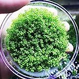 Dwarf Baby Tears Hemianthus Callitrichoides Java Moss Live Aquarium Plants Freshwater Fish Tank Vitro TC Cup by Greenpro