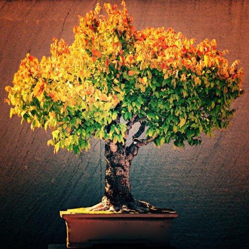 - by DUBU 100 Seeds / Pack, Japanese Zelkova Zelkova Serrata Outdoor Bonsai Tree Seeds
