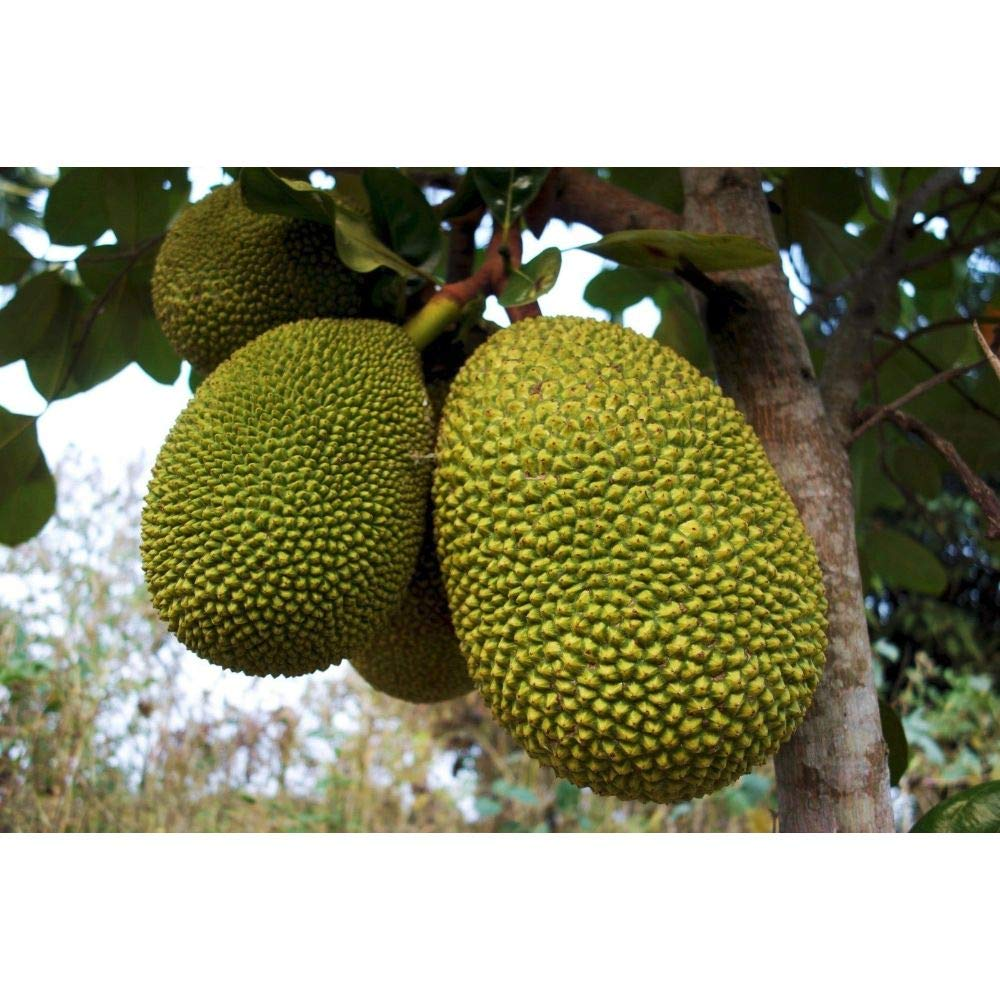 Jackfruit Tropical Fruit Trees 3-4 Feet Height in 3 Gallon Pot #BS1 by iniloplant (Image #1)