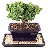 Brussel's Live Green Mound Juniper Outdoor Bonsai Tree - 4 Years Old; 6'' to 8'' Tall with Decorative Container, Humidity Tray & Deco Rock