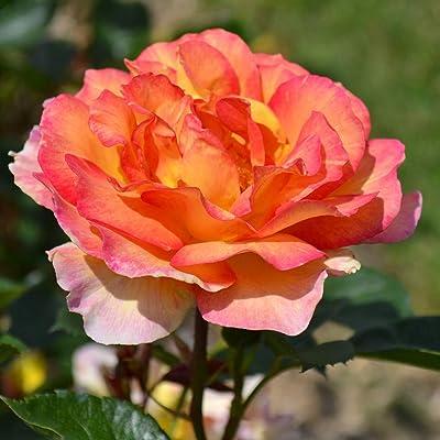 Own-Root One Gallon La Parisienne Grandiflora Rose by Heirloom Roses : Garden & Outdoor