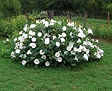 Fragrant Moonflower Bush! 20 Seeds ! This Will Slow Down Traffic! Comb.s/h!