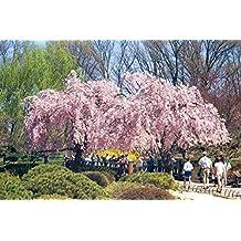 Weeping Higan Cherry, Prunus subhirtella pendula, Tree 5 Seeds (Fast, Showy)