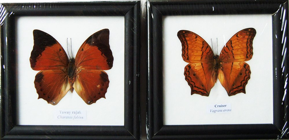 REAL TAWNY RAJAH AND CRUISER BUTTERFLY DISPLAY INSECT TAXIDERMY IN FRAMED