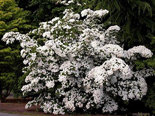 5 White Cornus KOUSA DOGWOOD TREE Flower (Cornus Kousa Dogwood Tree)