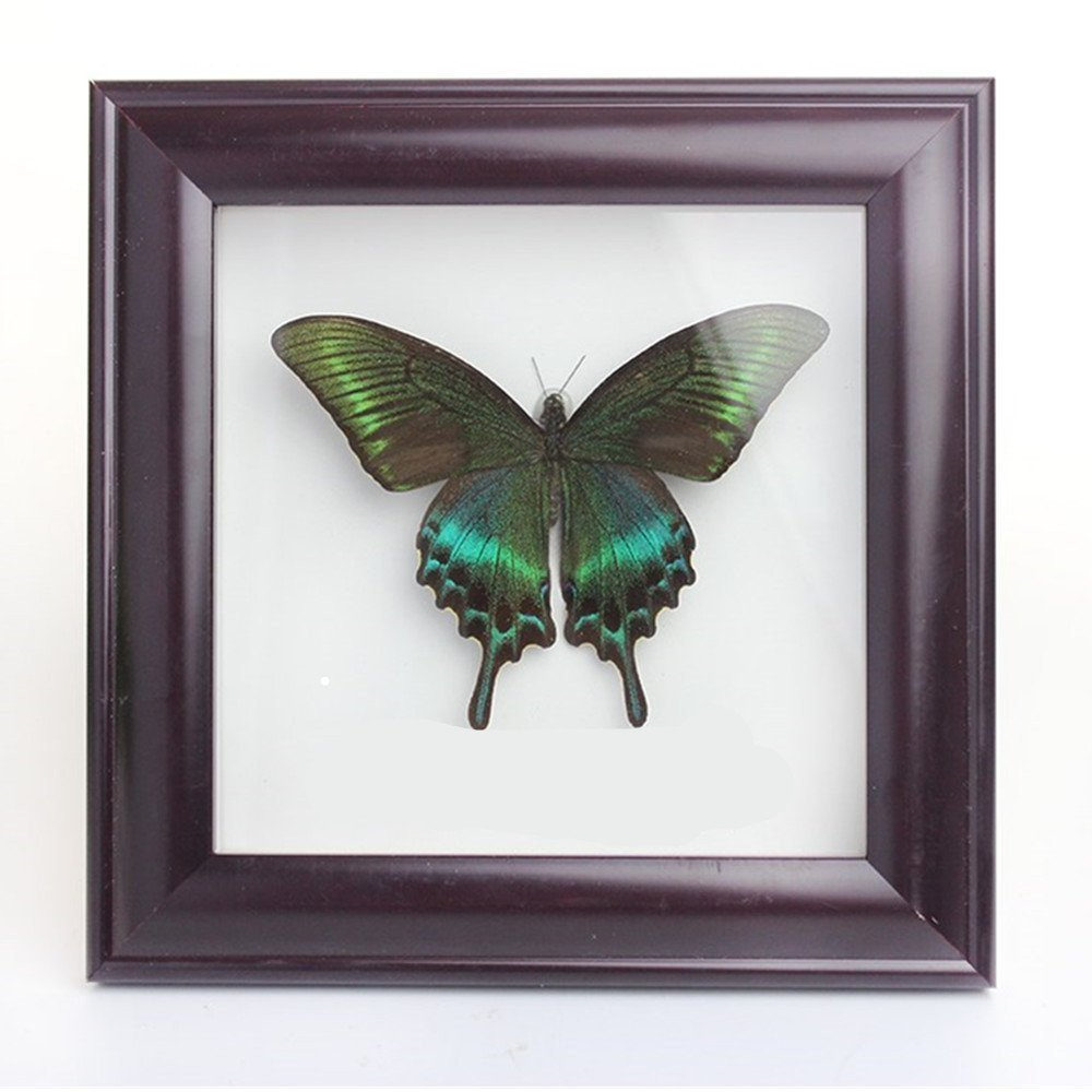 Lucklovely Rare Real Beautiful Paris Green Swallowtail Butterfly Insect Taxidermy Framed Mounted in Red Display