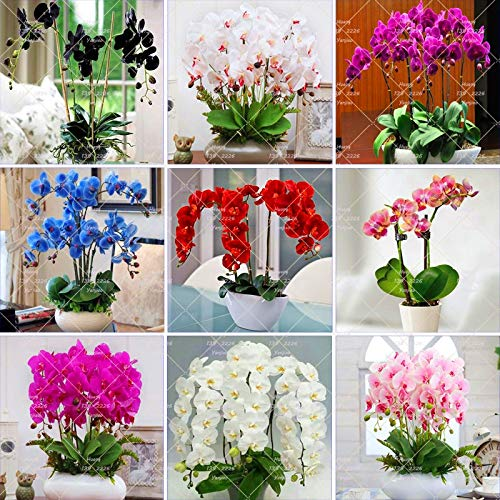 Orchids Plants Live Vanda Orchid Plant 100pcs Phalaenopsis Orchid Plant,Bonsai Hydroponic Flower Plant for Four Seasons Perennial Flowering Plants Potted Charming (Mix Color) - Mini Vanda Orchid