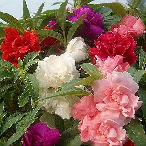 Gate Garden Balsam Tom Thumb Mix Flower Seeds (Pack of 1)