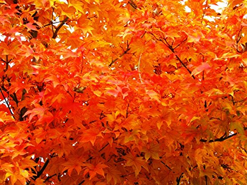 (3 gallon) Osakazuki Japanese Maple An excellent small tree, gracefully branched stems, lovely, deeply lobed, bright green leaves that emerge orange in spring, turns a crimson red in the fall by Pixies Gardens (Image #1)