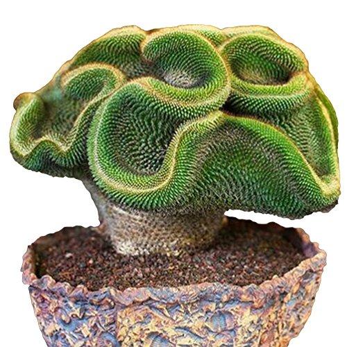 Blisscomdep Sale! 100Pcs Mini Cactus Seeds Astrophytum Succulents Potted Plants DIY Home Garden Yard Decor ()