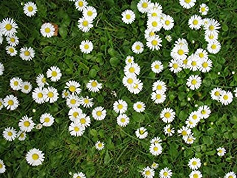 Daisy Lawn Grass Seed Cottage garden hard wearing certified seed 500g to 20kg (1kg)