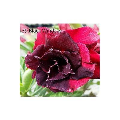 Succulent &Cactus, Adenium obesum no39 Black Window, Desert Rose USA : Garden & Outdoor