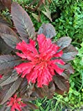 "Joseph's Coat Amaranthus ""Molten Fire"" Amaranth Summer Poinsettia Premium Seed Packet"