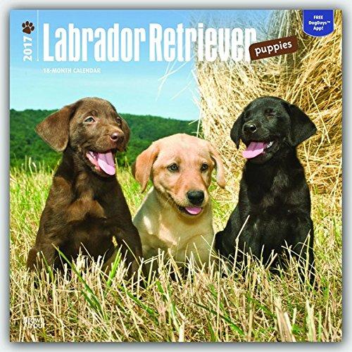 Labrador Retriever Puppies 2017 Square (Multilingual Edition)