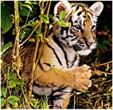 Stick It On Your Wall Baby Animals - Baby Tiger Mini Poster - 40x40cm