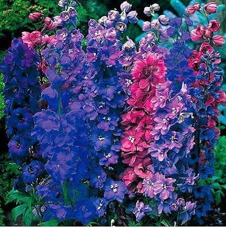 Amazon Com Seed House Kouye 50 Pcs Rare Pink Larkspur Flower