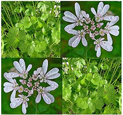 50 Coriander CILANTRO seeds ~ For MEAT & SPICY DISHES - GROW YOUR OWN NOW~