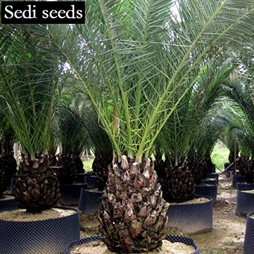 Canary Palm Trees (HOO PRODUCTS - Forest tree canary seaweed date palm seed landscape tree species 2017 fruit bonsai tree exotic seeds free 5pcs New Arrival !)