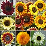 """Package of 250 Seeds, Sunflower """"Crazy Mixture"""" (10+ Varieties) Non-GMO Seeds by Seed Needs"""
