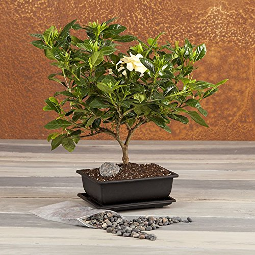 Amazon fragrant gardenia bonsai bonsai tree flowering amazon fragrant gardenia bonsai bonsai tree flowering plant flowering bonsai tree live plant green gift cut flower alternative ships mightylinksfo