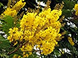 100 Peltophorum dubium Seeds , Yellow Poinciana, Copperpod, Horsebush, Yellow Jacaranda