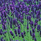 #5: English Lavender Herb Seeds - Non-GMO - 0.5 grams, approximately 400 seeds