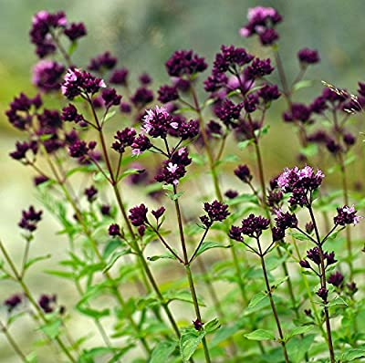 100+ Seeds of Oregano - Origanum Vulgare. Purple Flowered Culinary Herb with Powerful Healing Properties