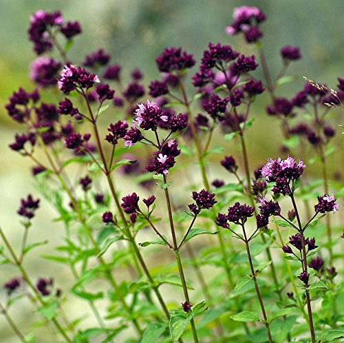 100+ Seeds of Oregano - Origanum Vulgare. Purple Flowered Culinary Herb with Powerful Healing Properties