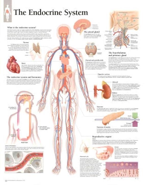 Amazon Laminated The Endocrine System Educational Chart Poster