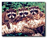 Three Raccoon Wildlife Animal Kids Room Wall Decor Art Print Poster (16x20)