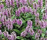 30 Pink Cat Nepeta (Catmint) Perennial Fresh Seeds